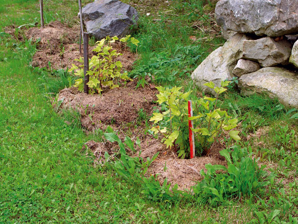 Mulčovanie okolia rastlín pokosenou trávou je v prírodných záhradách bežné.