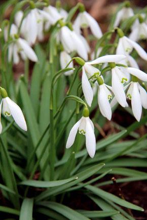 Snežienka jarná pochádza zEurópy aunás rastie voľne, je však chránená, takže rastlinky si nemôžete len tak vykopať zpôdy vlese.
