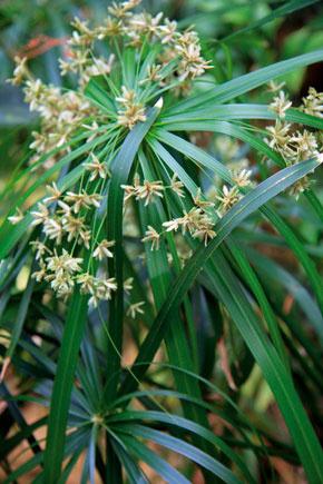 Zelený zvlhčovač vzduchu – vlhkomilný šachor (Cyperus alternifolius)