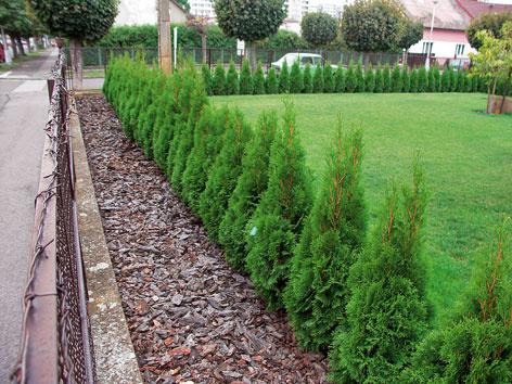 Ako tvarovať živý plot