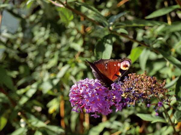 Nápadné kvety tohto obľúbeného kra sú v lete hotovým eldorádom pre motýle zo širokého okolia.