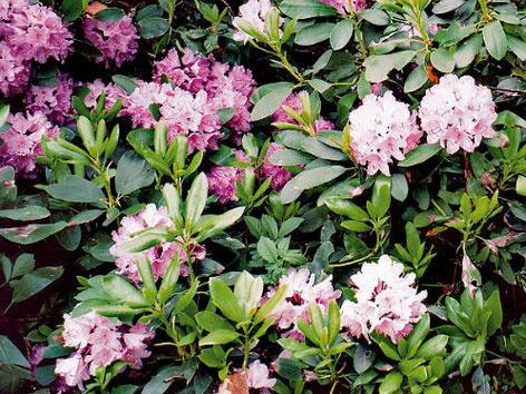Veľké kvety rododendronu sa nachádzajú na koncoch jednotlivých výhonkov.