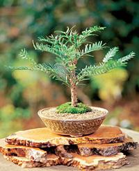 Wollemi Pine – pozdrav od dinosaurov