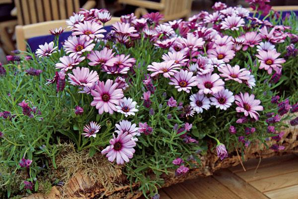 Ak váš balkón musí často zdolávať nápory vetra, vysaďte si naň odolnejšie druhy kvitnúcich letničiek – skompaktnejším kríkovitým rastom (tie, ktoré tvoria previsy, nie sú priveľmi vhodné). Vyskúšajte napríklad aksamietnice, lobélie, osteospermum (na obrázku), gazánie alebo železníky.