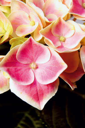 Na polotienistom balkóne orientovanom na sever môžu počas celého leta kvitnúť hortenzie. Pekné sú kultivary sbielymi, ružovými či fialovými kvetmi. Rastliny vysaďte do väčších (napríklad terakotových) nádob do rašelinového substrátu (ten treba stále udržiavať mierne vlhký!). Aby hortenzie kvitli bohatšie, doprajte im hnojivo určené na prihnojovanie kyslomilných rastlín.