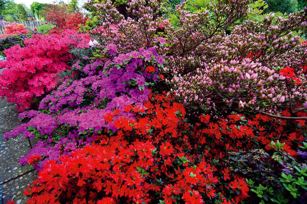 Záhrada je krásna po celý rok, najviac však upúta na jar, keď rozkvitnú rododendrony. Vtedy sa tu viac ako mesiac predháňajú v množstve kvetov a pestrosti farieb desiatky krov rôznych odrôd tohto záhradného favorita. Vidieť, že pracovitý majiteľ potrebám týchto rastlín skutočne rozumie – pôvodným stanoviskom rododendronov sú totiž hory, pre ktoré je typický vlhký vzduch, a tak nie je vôbec jednoduché vypestovať a udržať ich v plnej kráse na slnkom zaliatej nížine.