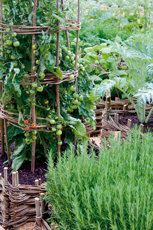 Rajčiaky môžu mať vo svojej blízkosti zeler, kaleráb, pór, cesnak