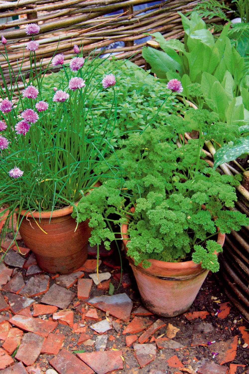 Klasické spojenie Ak chcete, aby sa kučeravému petržlenu apažítke dobre darilo aboli husto olistené, vysaďte ich ksebe. Budú sa dopĺňať apažítka bude krajšie kvitnúť. Obe rastliny vyžadujú polotieň, výživnejšiu amierne vlhkú pôdu. Môžete ich pestovať na záhonoch, ale veľmi dobre rastú aj vnádobách na balkónoch aterasách. Dokonca ich vňate môžete rýchliť, atak ich mať kdispozícii počas celého roka. Nemusíte ich prihnojovať aani ich nenapádajú škodce, takže máte istotu, že si ich vypestujete vbiokvalite.