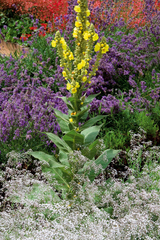 Vzáhone skvetinami Niektoré bylinky, napríklad divozel (Verbascum officinalis), vytvárajú dlhé vzpriamené súkvetia, ktoré zdobia kvetinový záhon počas celého leta. Aj divozel neustále kvitne, preto môžete kvety priebežne zberať asušiť. Čaj znich osoží pri chorobách dýchacích ciest apri nachladnutí. Rastline sa darí na slnečných asuchých miestach ačasto sa rozmnožuje sama – samovýsevom. Je nenáročná ajej pestovanie zvládne aj úplný začiatočník. Pekná je vo vidieckom prostredí. Vjej okolí môže rásť levanduľa, gypsomilka, rudbekia avynikne aj vsusedstve sokrasnými trávami.