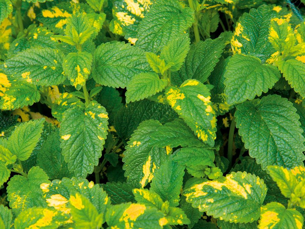 Medovka so strakatými listami Medovka (Melissa officinalis) môže byť okrasou bylinkového aj trvalkového záhona. Vžiadnej záhrade by nemala chýbať. Je pestovateľsky nenáročná. Každé miesto rozvonia citrónovou vôňou, najmä keď kvitne. Jej kvety sú však skôr nenápadné. Medovke sa darí vpolotieni, tu sú listy pekne svieže. Vybrať si môžete aj zrôznych nevšedných kultivarov, napríklad All Gold (na obrázku) má žltozelené listy. Čaj zmedovky upokojí aosvieži, je účinný proti chrípke ibolestiam hlavy. Mladé lístky môžete použiť aj pri ozdobovaní múčnikov, pri príprave ovocných šalátov, dokonca sa hodia krybám ahydine.