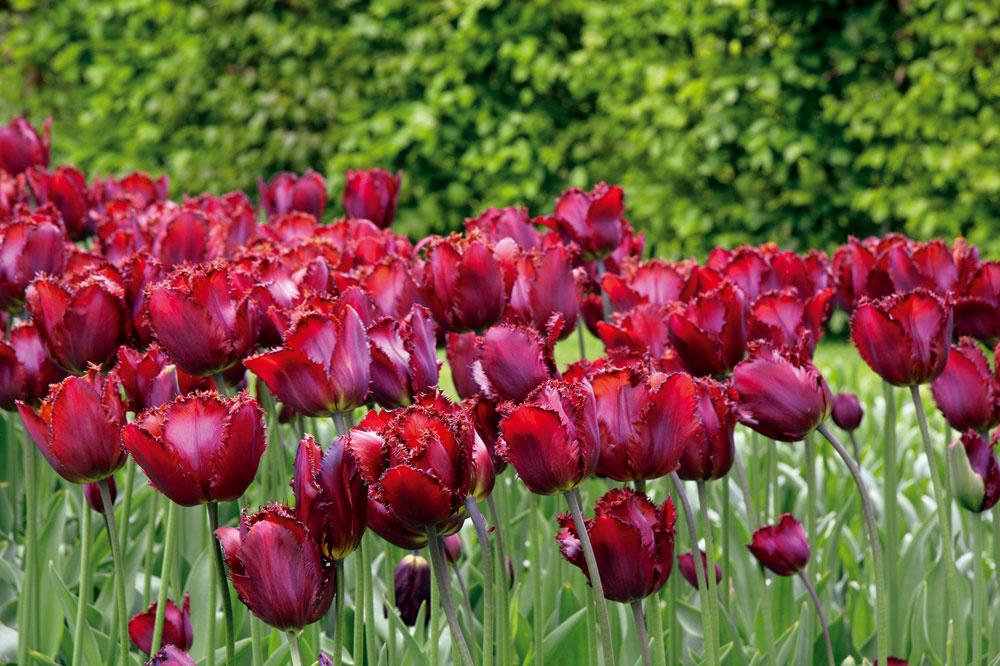 Vsortimente tulipánov je množstvo nádherných druhov aj kultivarov. Na jedno miesto vyberajte také, ktorých stonky skvetmi narastú približne do rovnakej výšky.