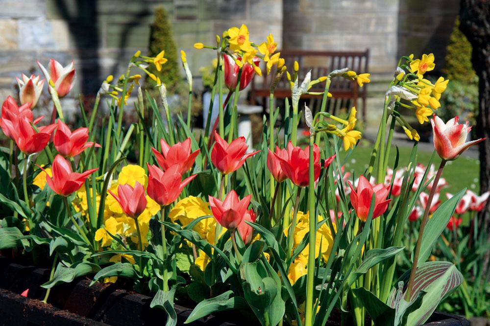 Tulipány sú veľmi pekné napríklad vkombinácii snarcismi aprvosienkami. Takúto kompozíciu si môžete vytvoriť ako na záhonoch, tak aj vnádobách.