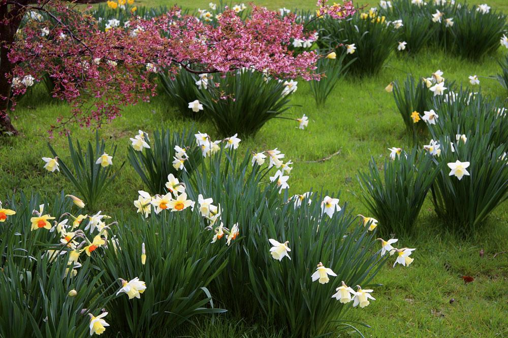 Vprírodne ladenej záhrade pôsobia okúzľujúco narcisové lúky. Narcisy sú vždy krajšie vskupinkách, rozhodne ich nesaďte jednotlivo.