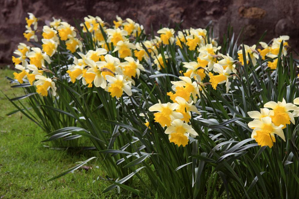 Narcisy obľubujú vlhkejšie pôdy, včase kvitnutia by ste ich preto mali pravidelne zalievať.