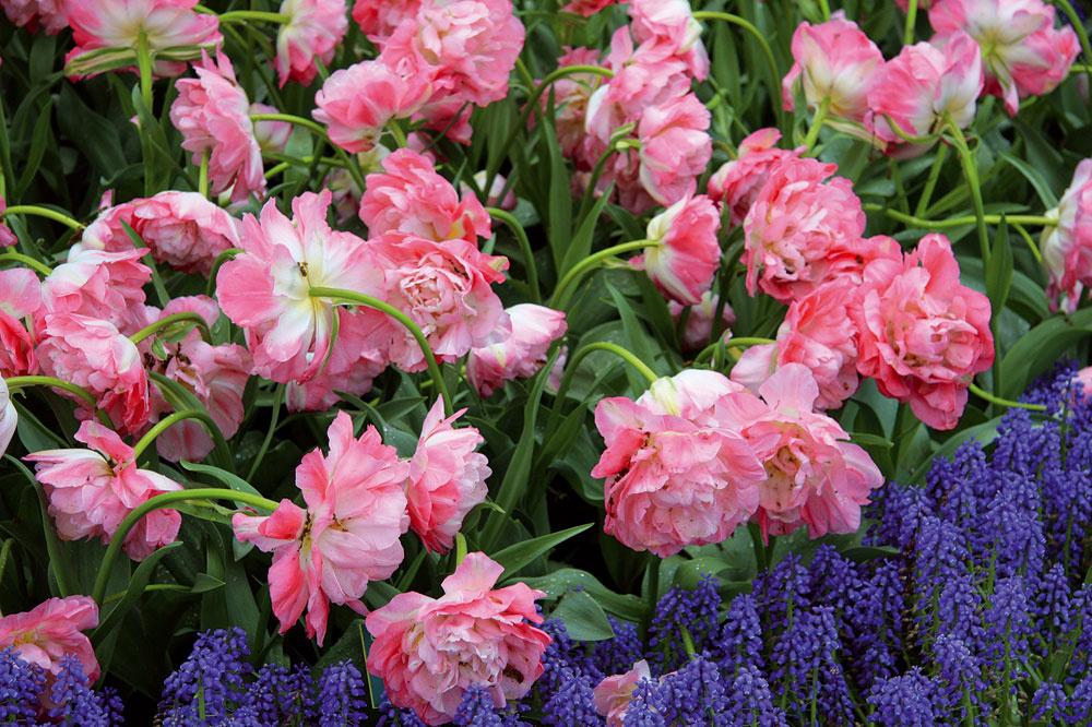 Na záhonoch sú plnokveté tulipány nádherné aj vkombinácii skvitnúcimi modricami. Tie môžu záhon pekne olemovať, záhradu navyše aj príjemne prevoňajú.