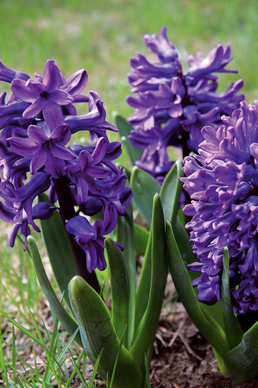 Farebnou rozmanitosťou sa vyznačujú aj kvety hyacintov. Vzáhrade im treba vyčleniť slnečné ateplé miesto. Cibule sú mimoriadne citlivé na trvalú vlhkosť pôdy.