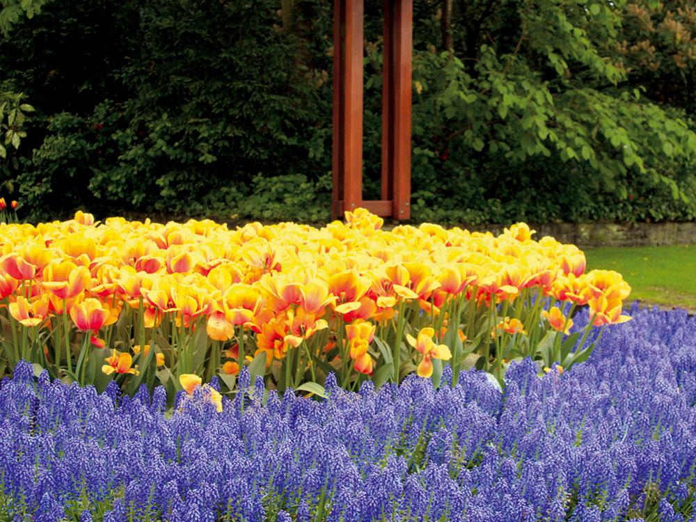 Popustite uzdu fantázii a vytvorte si úžasné kvetinové kompozície. Na jar kvitnúce cibuľoviny najkrajšie vyniknú vysadené vo väčších skupinách uprostred udržiavanej zelene.
