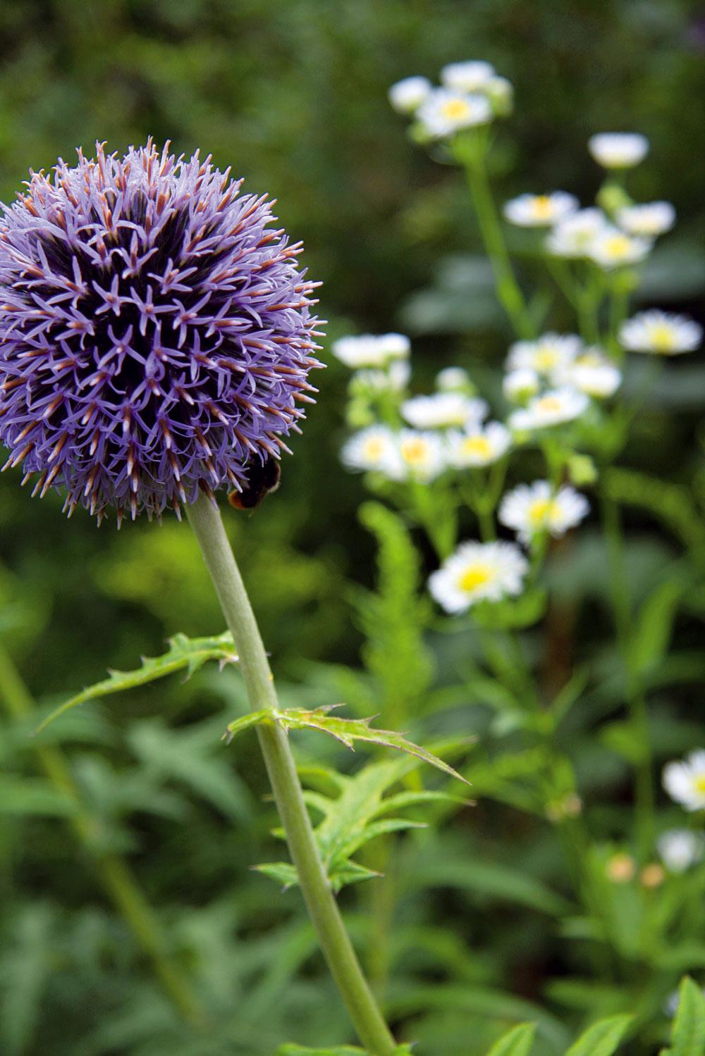 Rastlina mesiaca: Dynamické ježibaby  Chcete si záhradu ozvláštniť niečím netradičným avniesť do nej trochu napätia? Tak potom si do kvetinového záhona vysaďte majestátnu ježibabu (Echinops banaticus). Táto nenáročná trvalka má vlete nádherné modré guľovité súkvetia aefektné sú aj jej pichľavé členité listy. Výborne sa hodí do mestských aj vidieckych záhrad, krásna je tiež vštrkových záhonoch. Znesie sucho islnko aneprekáža jej ani na živiny chudobná pôda. Pomerne rýchlo rastie arok čo rok bohatšie kvitne, len jej treba nechať dostatok priestoru. Ak si chcete vysadiť aj ďalšie pichľavé krásky, rozhodne si vyberte niektorý zkotúčov (Eryngium). Ich oceľovomodré súkvetia sú oproti ježovitým kvetom ježibaby trochu jemnejšie aodkvitnuté vydržia na rastline až do zimy. Tiež sú pestovateľsky nenáročné, tvarom sú skôr nižšie akompaktnejšie.