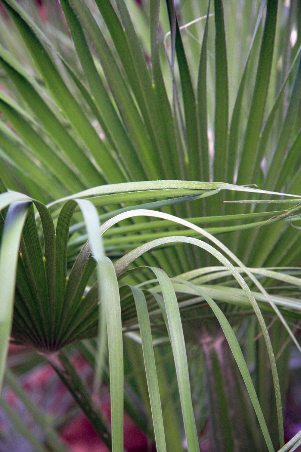 Vposlednom čase sa vponuke záhradníctiev objavilo množstvo paliem, ktoré možno po celý rok pestovať vexteriéri. Patrí knim napríklad Trachycarpus fortunei, Trachycarpus wagnerianus, Chamaerops humilis, Jubalea chinensis aďalšie. Palmy budú celoročne prospievať vzáhradách snadmorskou výškou do 400 metrov. Potrebujú miesto sdostatkom slnka (juhovýchod alebo juhozápad), veľmi dôležitá je priepustná avýživná zemina, vktorej budú vysadené priamo na záhonoch. Podstatné je aj správne zazimovanie paliem, hlavne tých novovysadených. Staršie exempláre zvyčajne prežijú mrazy lepšie. Mladšie jedince treba pred príchodom zimy dobre obaliť jutovými vakmi, dôležité je chrániť ich aj pred zimným vlhkom, ktoré by mohlo spôsobiť hnilobu.