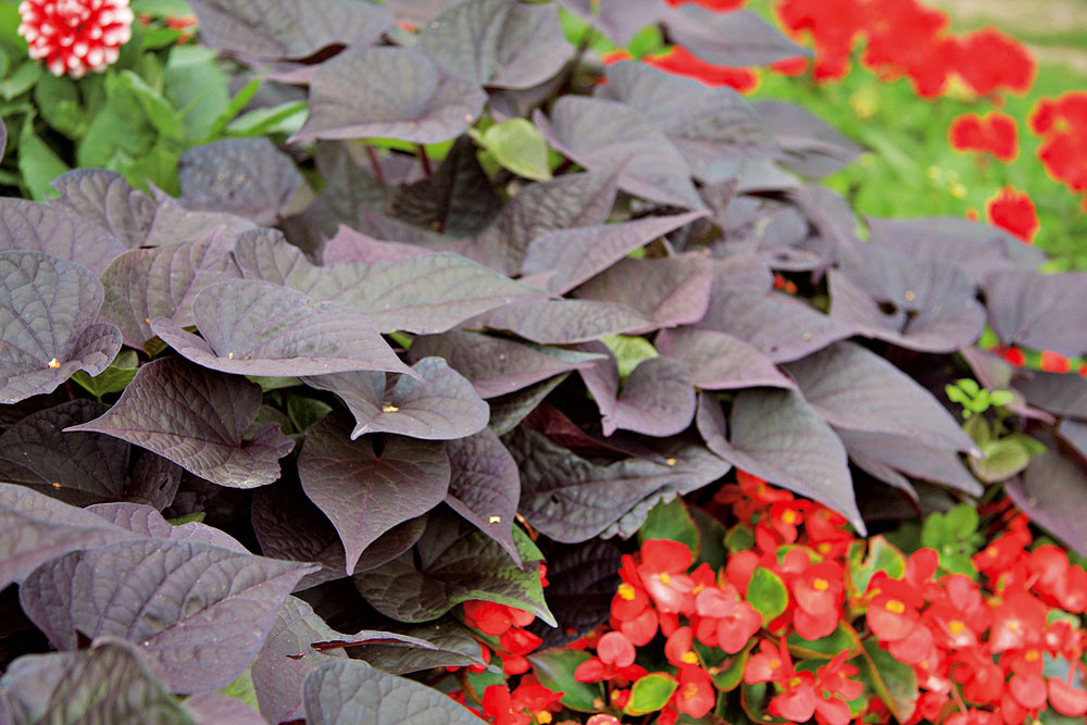 Slnečný balkón či terasu si možno spestriť aj rastlinami, ktoré majú farebné listy. Nádherné sú vkombinovaných výsadbách sinými letničkami. Vyskúšajte povojník batátový (Ipomea batatas; na obrázku hore) alebo žltozelený plektrant, ktorý odpudzuje dotieravý hmyz. Sucho aúpal neprekážajú striebristej slamihe (Helichrysum petiolare).