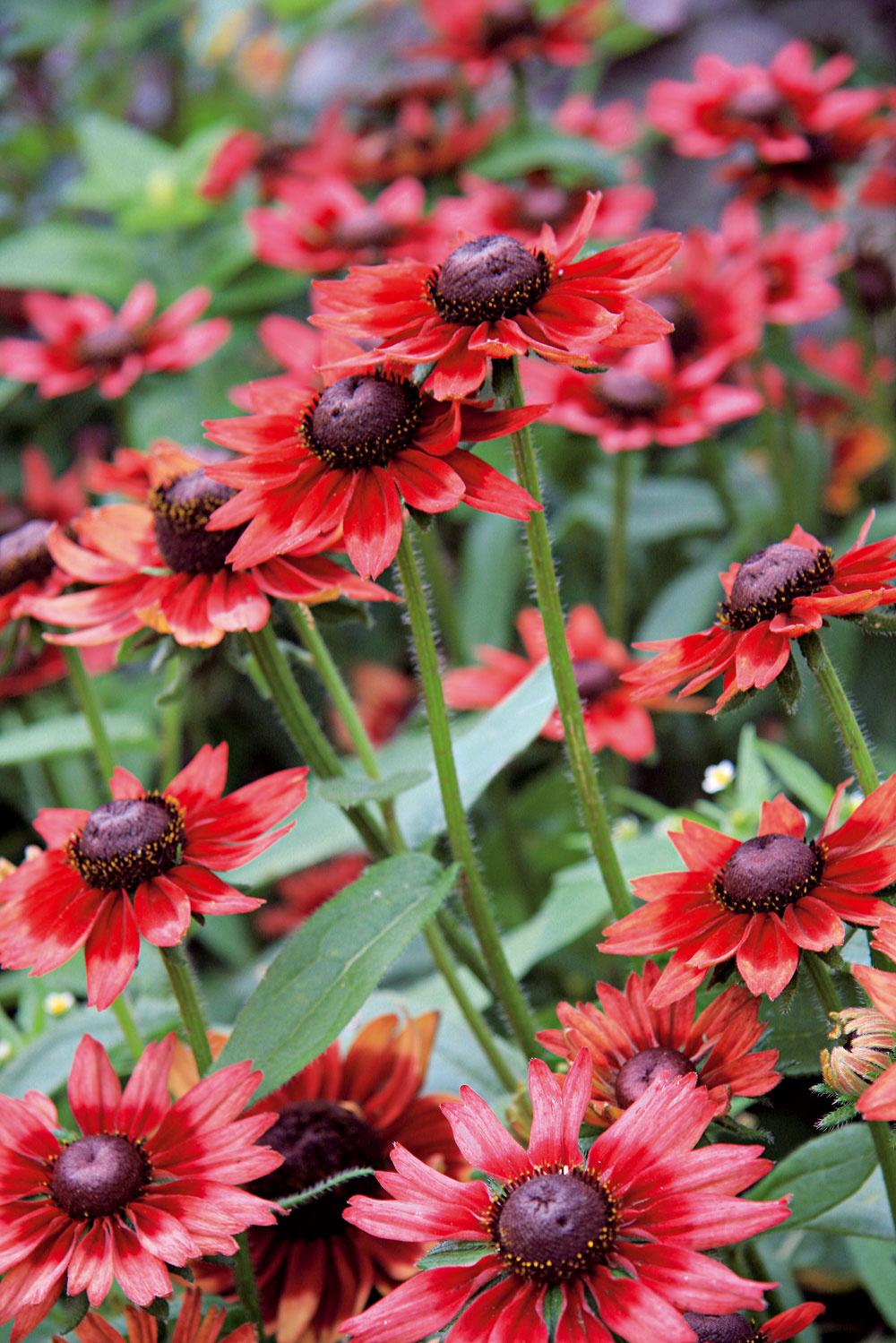 Rudbekia (Rudbeckia hirta), letnička, pochádza zo Severnej Ameriky. Vsortimente sa objavili aj atraktívne zakrpatené kultivary, napríklad sčervenými súkvetiami. Rudbekia obľubuje slnečné miesto, znesie aj väčšie teplo aneprekáža jej veterná strana. Je nádherná vkombinovaných výsadbách – skúste ju vysadiť smuškátmi aokrasnými trávami. Na podporu kvitnutia jej doprajte raz týždenne hnojivú zálievku (hnojivo na kvitnúce letničky) apravidelne odstraňujte odkvitnuté kvety.