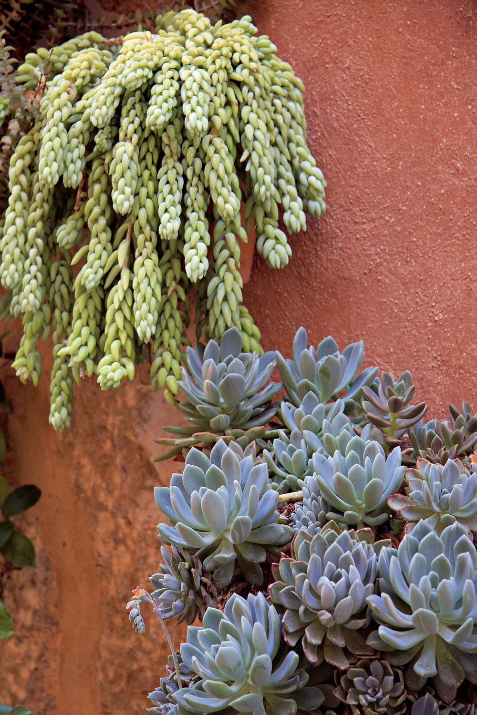Ak pestujete vo svojom byte sukulenty, rozhodne im počas letných dní dožičte pobyt vonku. Viditeľne spevnejú, rozrastú sa abudú sýtejšie sfarbené. Slnko ani sucho im neprekážajú, práve naopak. Sukulenty môžete vysadiť do črepníkov, prípadne do závesných nádob, aumiestniť na stenu, kde budú ich výhonky efektne prevísať.