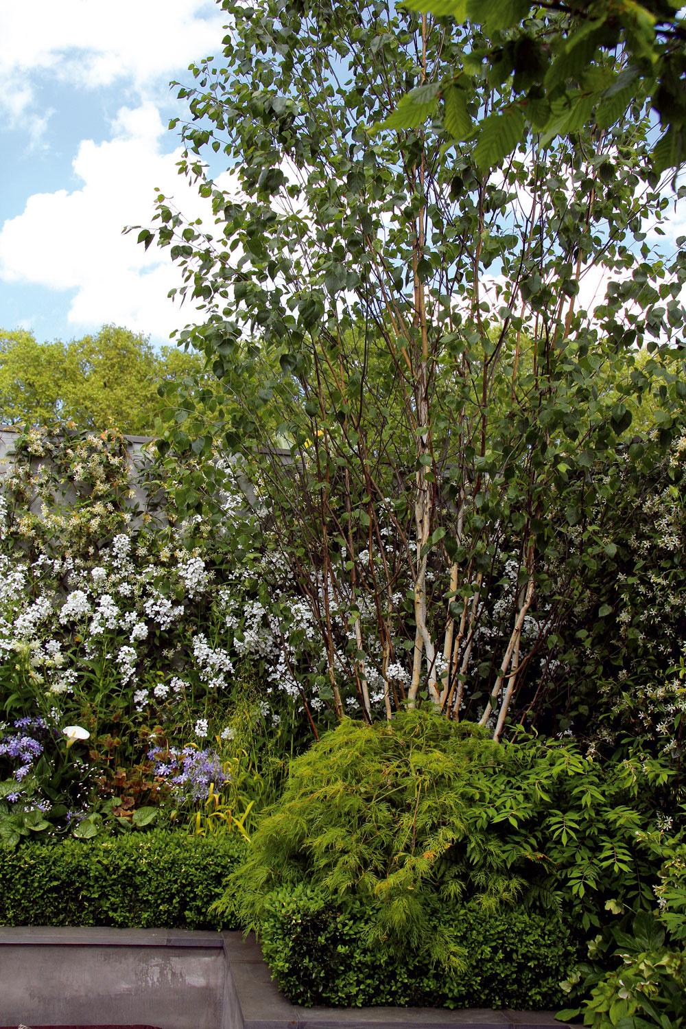 Precízne výškovo usporiadanej výsadbe dominuje pekný exemplár brezy ajaponského javora. Záhony lemuje nízky kultivar vždyzeleného krušpánu, vďaka ktorému je záhrada aspoň trochu zelená aj počas zimy.
