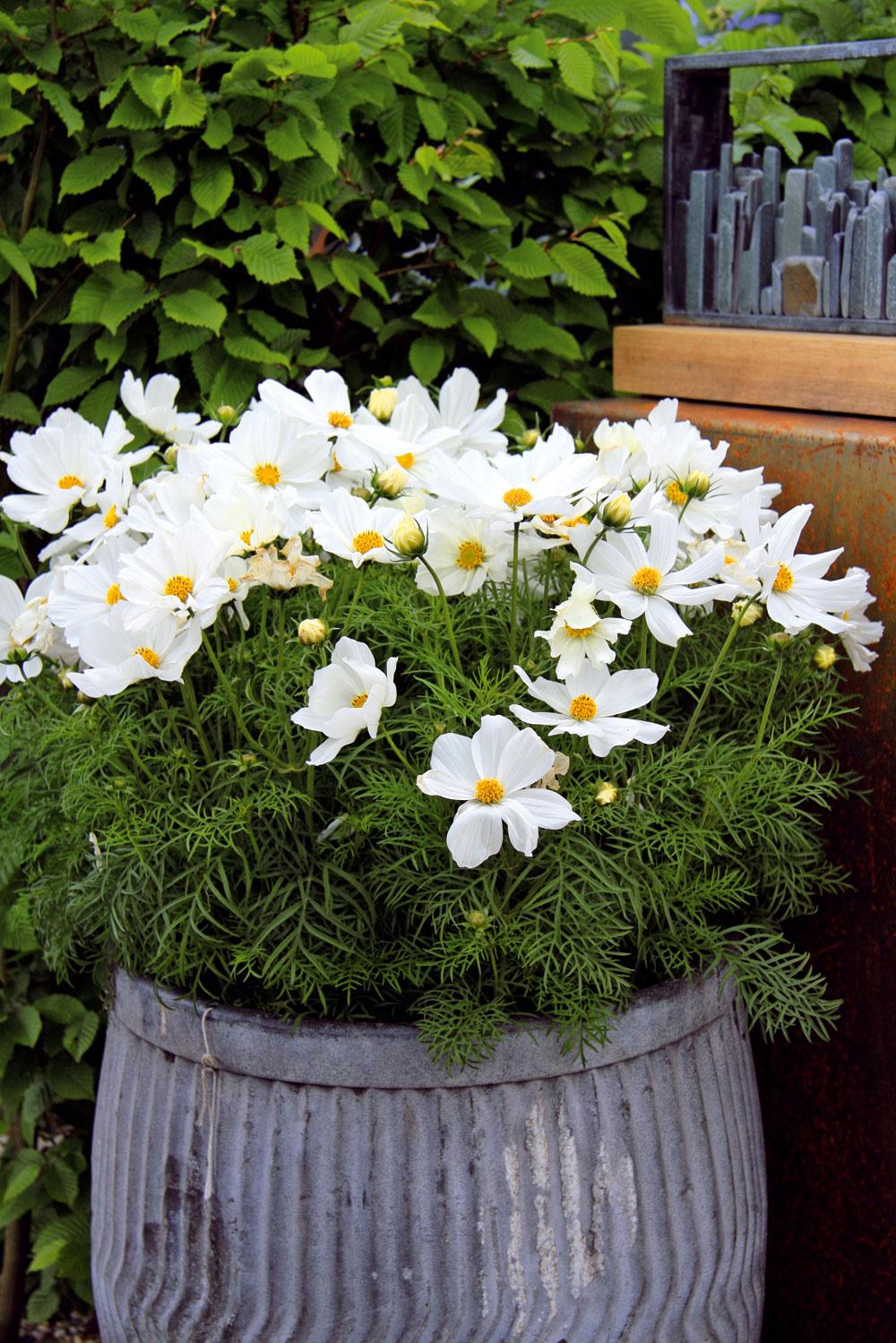 Vlete oživujú priestor záhrady aj kvitnúce letničky vnádobách. Tento raz je to bielokvitnúca krasuľka.