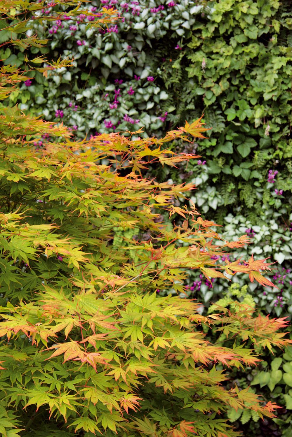 Rôzne druhy vysadených japonských javorov sú pôsobivé na jar, včase pučania nových listov, aj na jeseň, keď sa ich listy intenzívne sfarbia.
