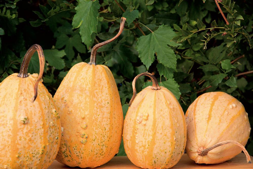 Tip do záhrady: Tekvice podčiarknu atmosféru Ak si chcete vzáhrade navodiť príjemnú jesennú atmosféru, zaobstarajte si rôzne druhy tekvíc aporozmiestňujte ich vzáhradnom priestore –rozložte ich na múriky, na okraje schodísk, do trávnikov, na terasy či do kvetinových záhonov. Zaslnečných jesenných dní tu budú pekne vyfarbené plody tekvíc doslova žiariť.