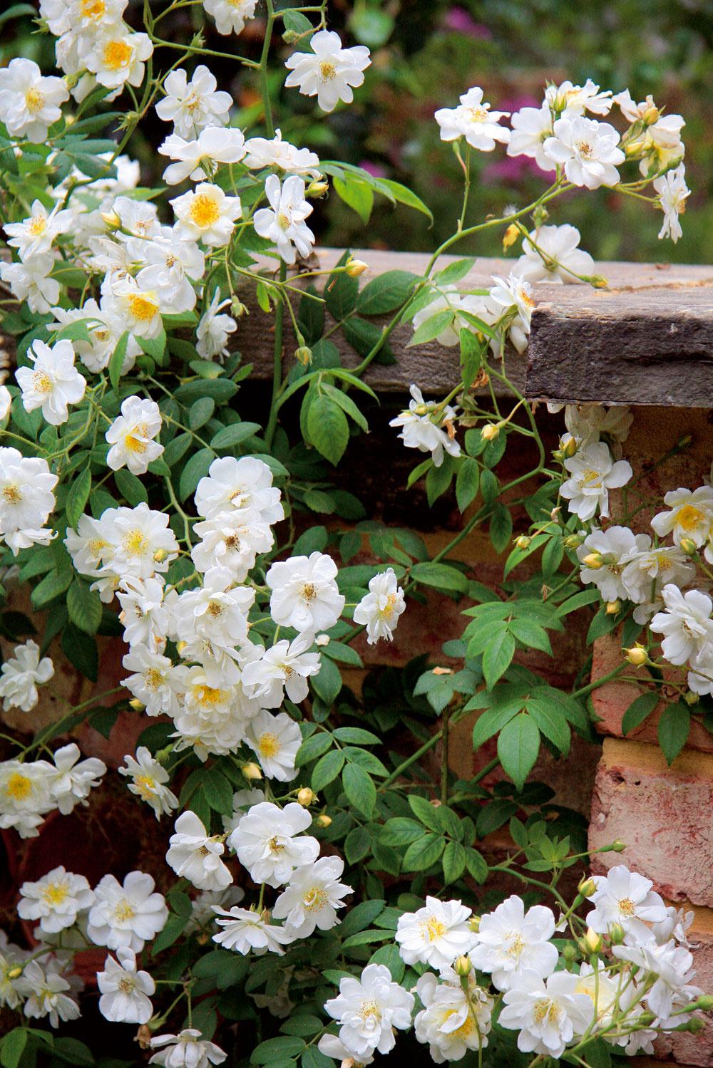 Nádhernými vôňami vynikajú aj mnohé kultivary popínavých ruží. Ak ich vysadíte kaltánku alebo kodpočívadlu, budete si môcť príjemne užiť ich vôňu aj romantickú atmosféru.