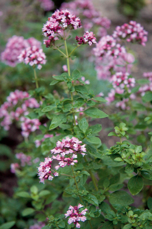 Knajkrajším kvitnúcim aromatickým druhom rastlín patrí pamajorán alebo aj oregano. Výhodou je, že táto rastlina je nielen pekná na záhone, ale aj užitočná pri príprave jedál.