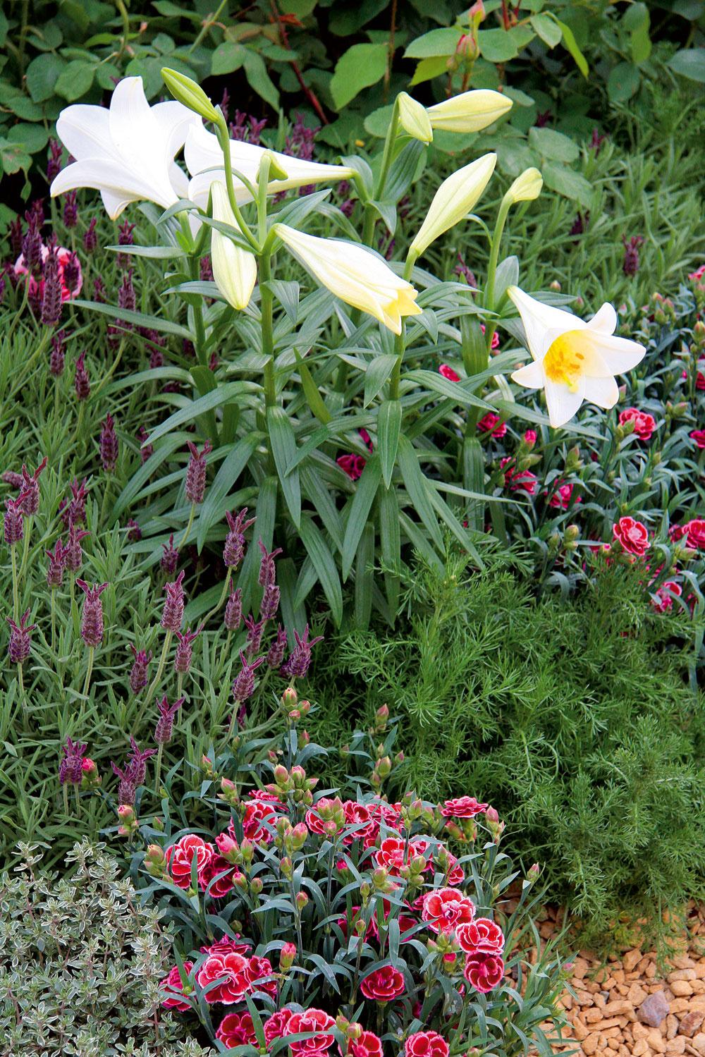 Ideálnymi spoločníkmi vo voňavých kvetinových záhonoch sú ľalie aklinčeky. Vyžadujú slnečné miesto apriepustnú pôdu.