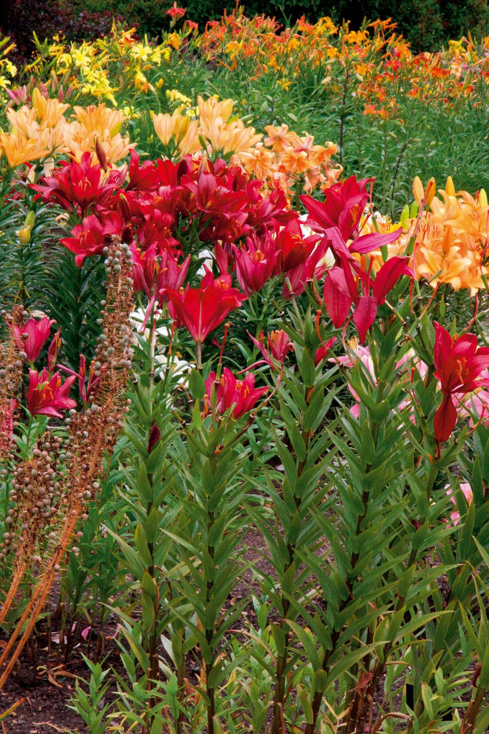 Začiatkom leta môže záhradu zahaliť vôňa kvitnúcich ľalií. Najkrajšie sú vysadené vskupinke.