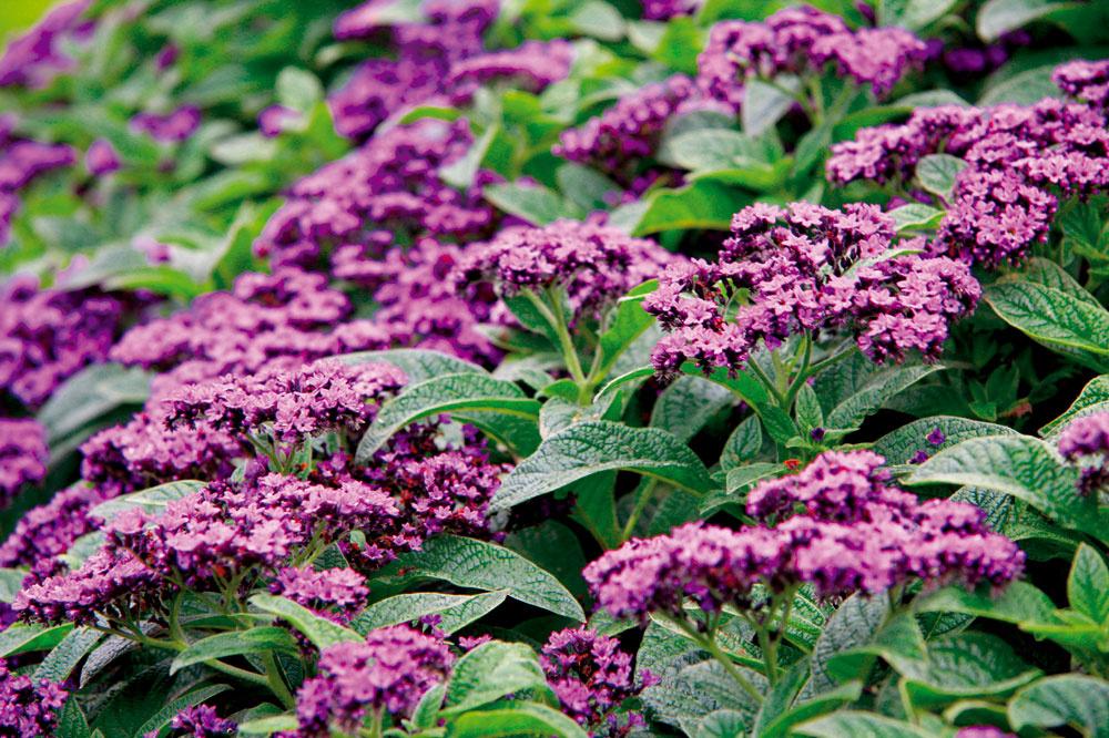 Skrutec vonia po vanilke amožno ho pestovať ako vkvetinovom záhone, tak aj vnádobe na terase alebo balkóne.