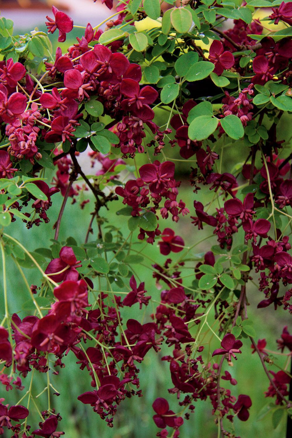 Menej známa, no prekrásne voňajúca popínavá akébia sa hodí kplotom, ktoré pomerne rýchlo zazelená. Na jar ich potom zahalí do záplavy vínovočervených kvetov.
