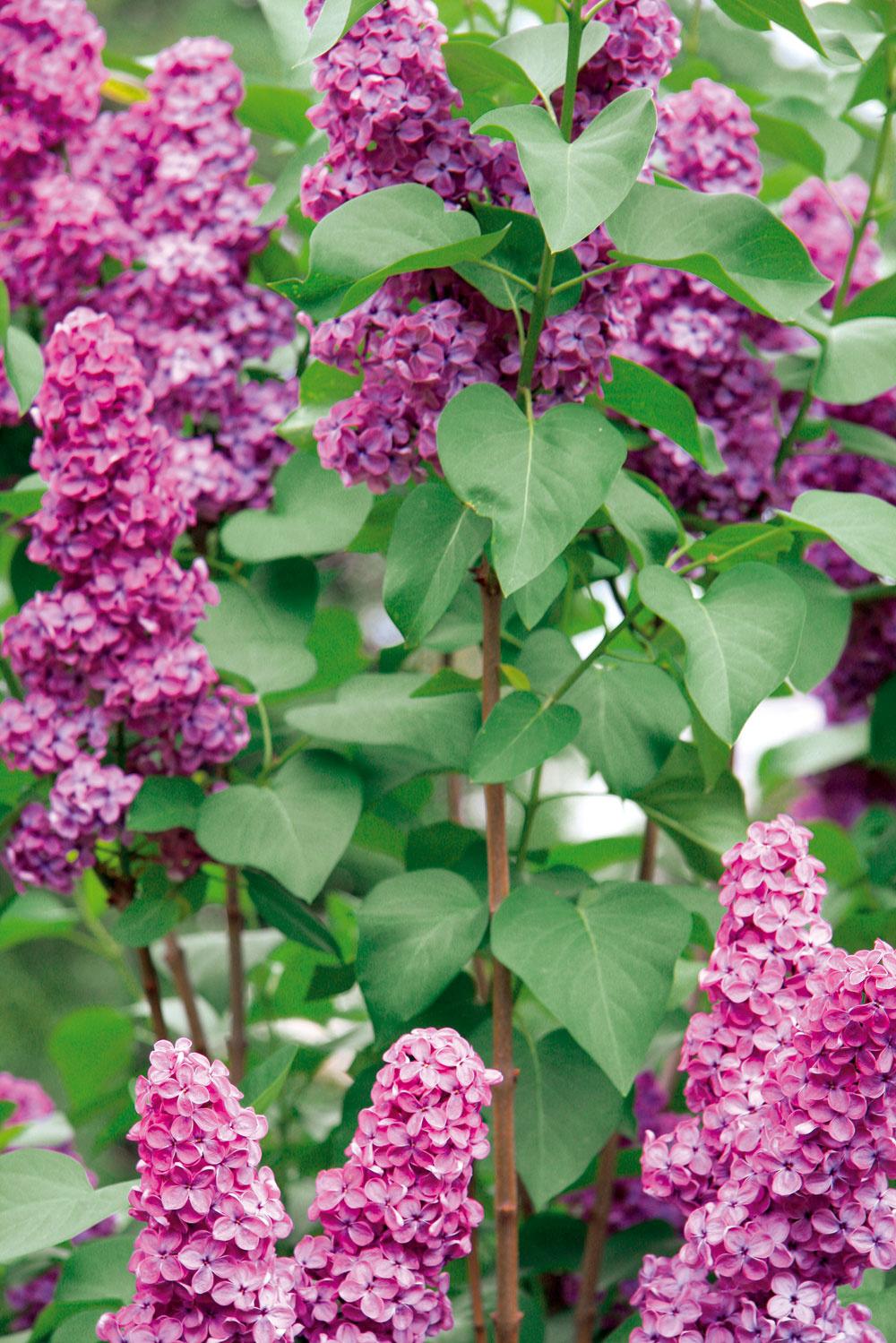 Vzáhrade plnej voňavých rastlín by určite nemal chýbať orgován – napríklad vo forme voľne rastúceho živého plota.