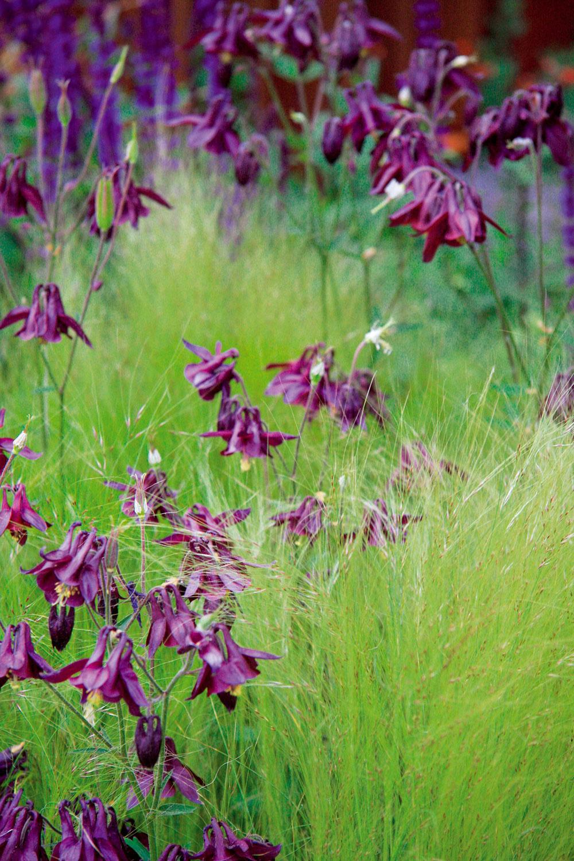 Ich orlíčková vznešenosť vzajatí stepilej trávy druhu kavyľa