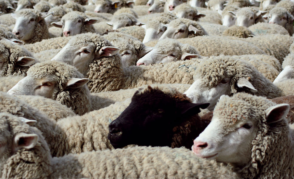 Na izoláciu možno použiť aj surovú ovčiu vlnu
