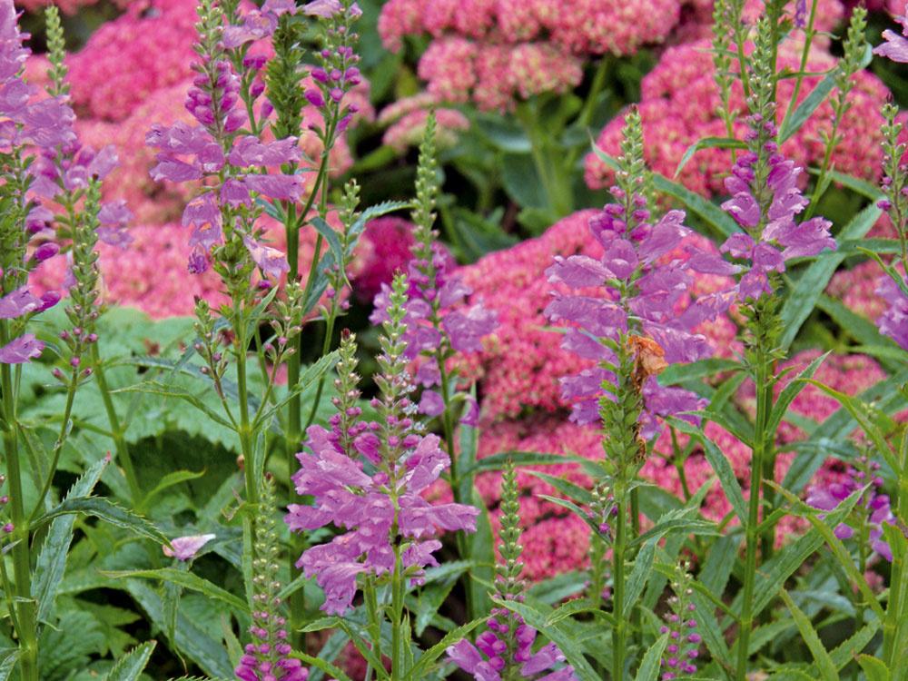Rastlina mesiaca:  Vznešená fyzostégia  Na jeseň môže vaša záhrada žiariť množstvom krásnych trvaliek. Patrí knim aj fyzostégia (Physostegia virginiana 'Vivid'). Táto pôvabná adlhoveká rastlina pochádza zAmeriky adorastá do výšky 1 m. Má dekoratívne ružové kvety usporiadané vo vzpriamených klasoch, pekné sú aj jej úzke zúbkovité listy. Časom vytvára nádherné trsy, ktoré oživujú záhony po celú jeseň. Fyzostégii to pristane vspoločnosti okrasných tráv lebo rozchodníkovcov, prípadne iných, najmä vyšších jesenných trvaliek. Žiada si priepustnú, skôr mierne vlhkú pôdu, slnko alebo svetlý tieň. Veľmi dobre znáša aj tuhšie zimy aje pestovateľsky nenáročná. Jej prednosťou je veľmi dlhé kvitnutie – kvitne od konca leta až do prvých mrazov, atiež všestranné využitie vzáhradách rôznych štýlov.