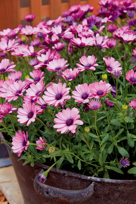 Počas leta môže na južnej slnečnej strane pri chalupe bohato kvitnúť osteospermum. Originálnejšiu podobu dostane, ak bude vysadené napríklad vstarom vedre či hrnci.