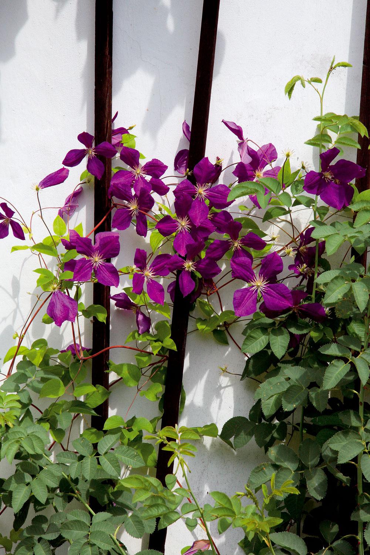 Pri výbere zelene netreba zabúdať ani na popínavé kvitnúce dreviny – môžu vám pomôcť vytvoriť vzáhrade romantické zákutia sdostatkom súkromia. Ideálny je plamienok, ktorý však musí mať miesto, odkiaľ vyrastá, zatienené listami inej rastliny.