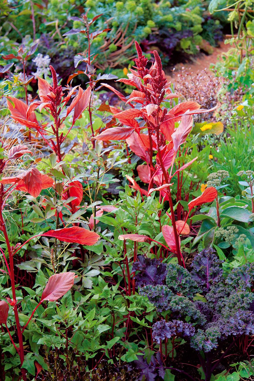 Rozmanitú zeleninu na záhonoch môžu dopĺňať letničky sfarebnými listami, napríklad láskavec.
