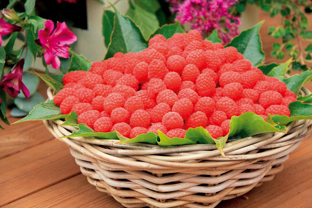 Drobné bobuľové ovocie, napríklad maliny, dopestujete pomerne ľahko aobvykle na to nie sú potrebné ani špeciálne znalosti. Bohato plodia už rok po výsadbe.