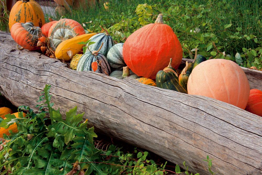 Typickou rastlinou vidieka sú tekvice. Na jeseň môžu záhradu ozdobiť svojimi farebnými plodmi.