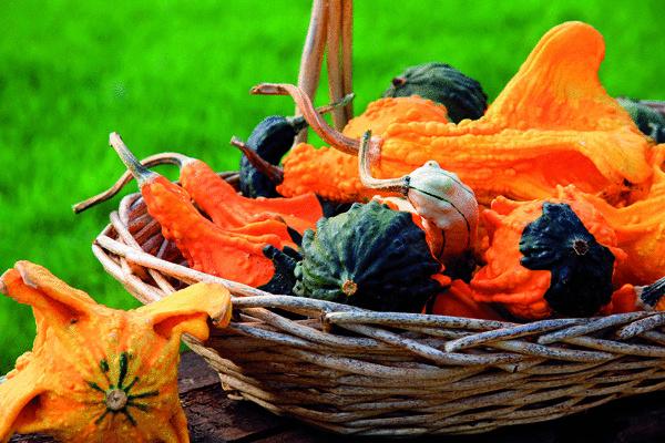 Sesternička svetlonosa hýri všetkými farbami jesene. Korunovácia sa začína. Kráľovské žezlo jesennej dekorácie získava rastlinná gebuľa – tekvica. (foto: Daniel Košťál)