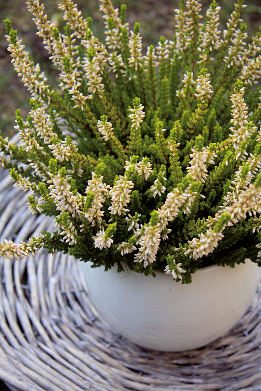 Vresy štartujú jeseň  Neviete, čím nahradiť odkvitnuté letničky vdebničkách? Ak ste milovníkom kvetov azelene, rozhodne by vám nemali chýbať vresy (Calluna vulgaris). Výborne porastú samostatne alebo vkombinácii so zakrpatenými ihličnanmi atrávami aj vo vegetačných nádobách. Výhodou je, že sa predávajú už rozkvitnuté, čiže si môžete vybrať farebný odtieň príbuzný napríklad farbe fasády. Vresy nie sú náročné na starostlivosť, no treba im zabezpečiť pravidelnú zálievku (najlepšie odstátou vodou) amierne kyslý substrát. Milujú slnko, ale neprekáža im ani polotieň aveterné miesto.