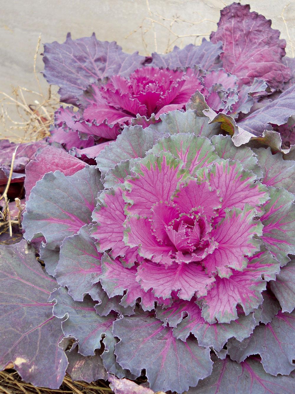 Chlad zvýrazní ich krásu   Otom, že kapusta nemusí byť len vsude alebo vtrojkombinácii spečeným bôčikom aknedľou, vás presvedčia okrasné kapusty. Ide otypické jesenné rastliny, ktoré sú pestovateľsky nenáročné, vizuálne príťažlivé aich krása pretrváva až do začiatku zimy. Priam okúzľujúco pôsobia jedince sružovo sfarbenými askučeravenými listami. Okrasná kapusta potrebuje mierne vlhký substrát; ak má sucho, jej listy žltnú aopadávajú. Je veľmi pôsobivá vstarých košíkoch aspolu schryzantémami. Vďaka jesennému chladu bude ešte farebnejšia.