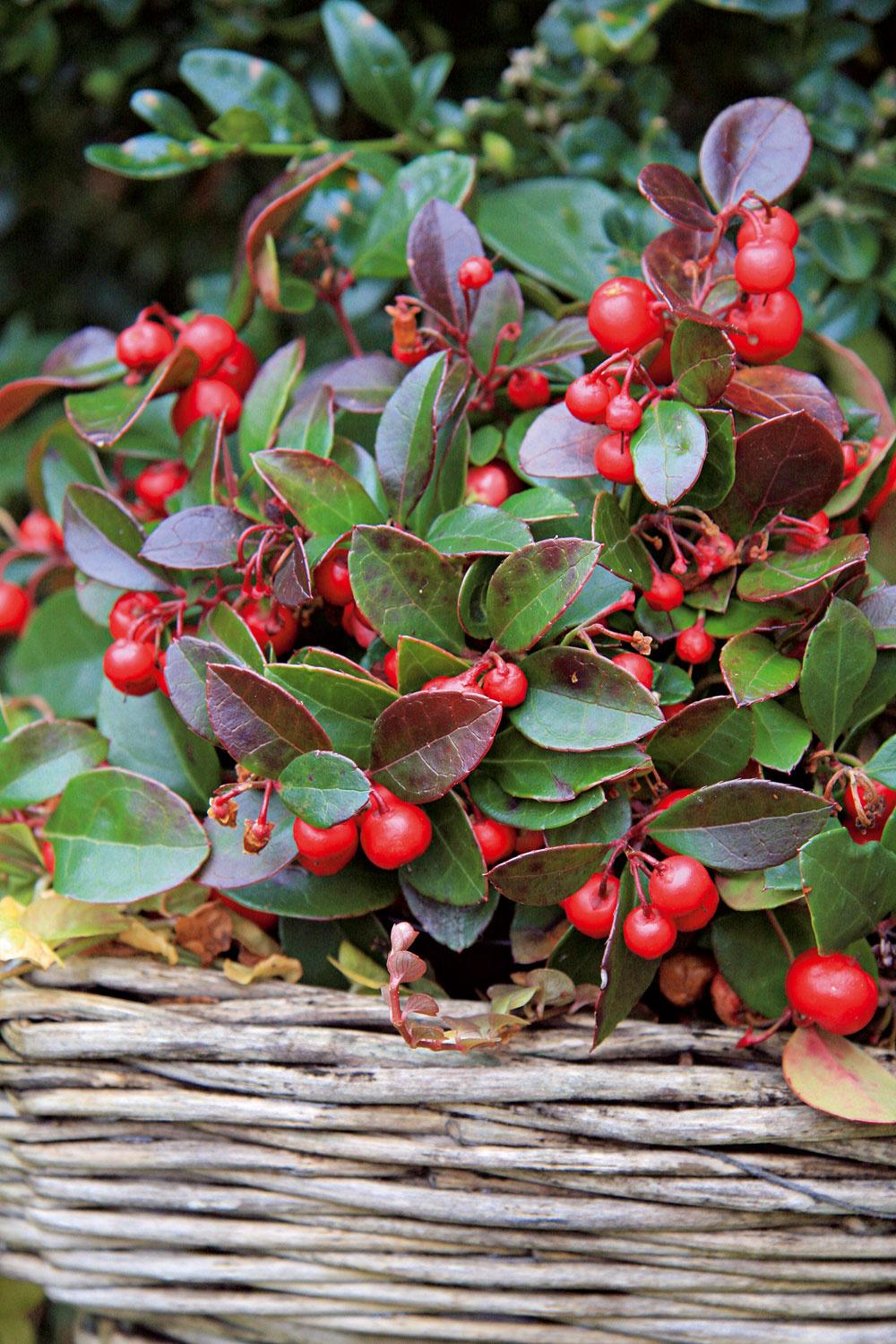 Červené koráliky  Súčasťou jesenne ladených balkónov by mali byť aj dreviny (napríklad zakrpatené), ktoré ozdobuje záplava sýto sfarbených plodov. Na moderné aj staršie balkóny, prípadne aj do okenných debničiek sa hodí skalník alebo miniatúrna gaultéria (Gaultheria procumbens). Vyniká nielen množstvom drobných červených plodov pripomínajúcich koráliky, ale aj listami, ktorým neublíži jesenný chlad ani prvý mráz. Ak sa rastline postaráte o mierne kyslý a stále vlhký substrát, odmení sa vám svojou nádherou aj počas zimy.