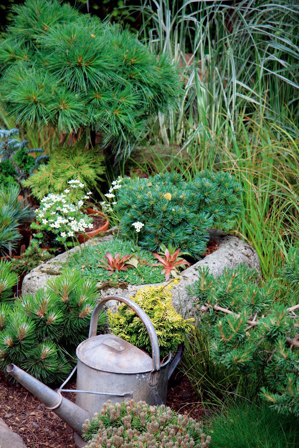 Miniihličnany sú pôsobivé aj vkamenných korytách spolu so skalničkami. Aak máte napríklad starú plechovú krhlu sderavým dnom, môžete skúsiť pestovať tieto dreviny aj vnej.
